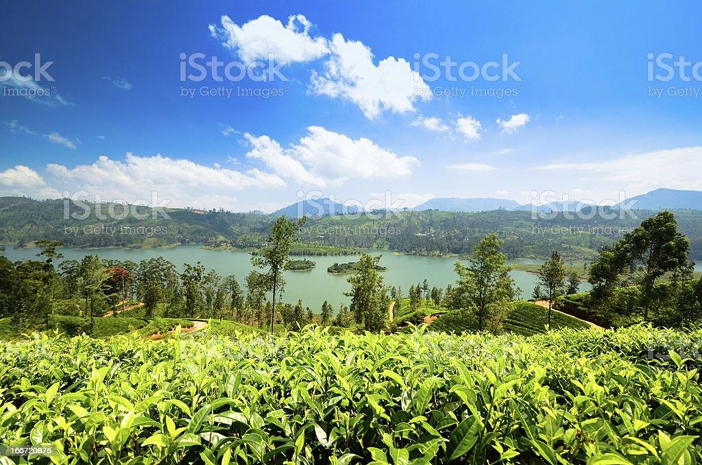 Beautiful Tea plantation stock photo