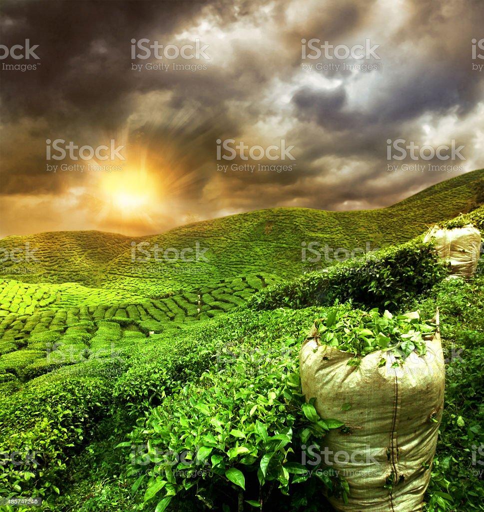 beautiful tea plantation sunset stock photo