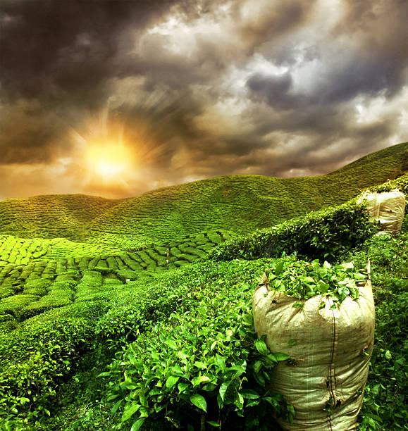 wunderschöne teeplantage sonnenuntergang - darjeeling tee stock-fotos und bilder