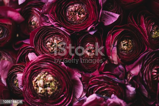 istock Beautiful tender blossoming dark purple Ranunculus flowers texture, close up view 1059749716