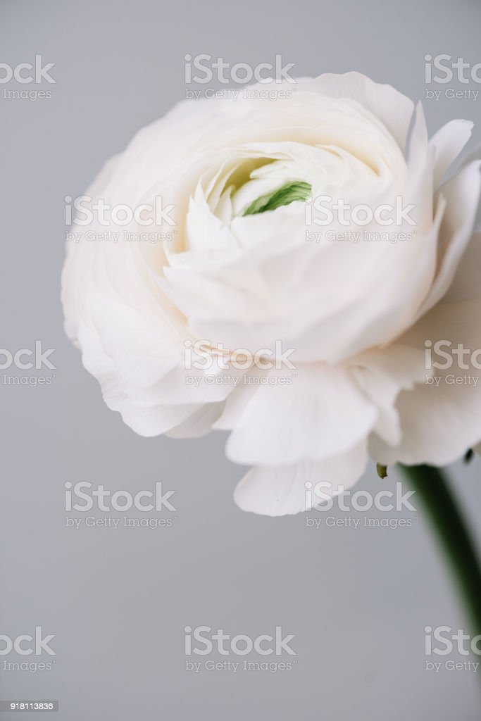 Beautiful tender blossoming single white ranunculus flower on the...
