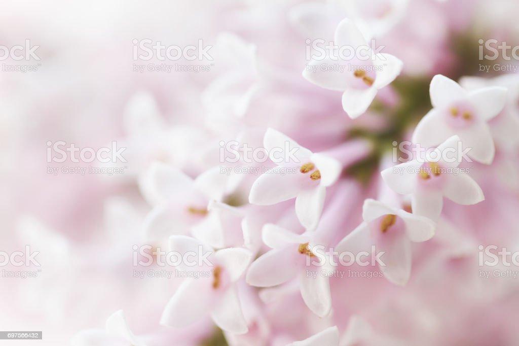 Beautiful tender gentle delicate flower background with small pink beautiful tender gentle delicate flower background with small pink flowers horizontal copy space mightylinksfo