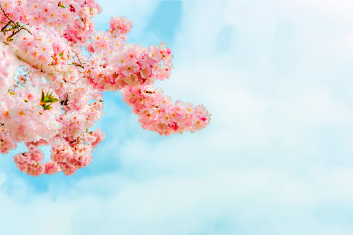 Beautiful tender pink tree blossoms cherry blue sky copy space