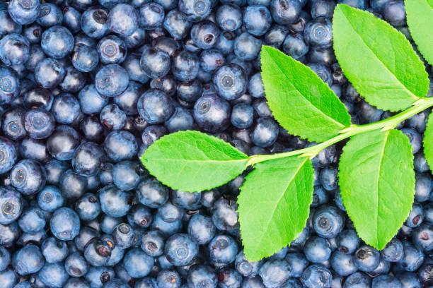 Beautiful texture of delicious healthy blueberries. Vaccinium myrtillus stock photo