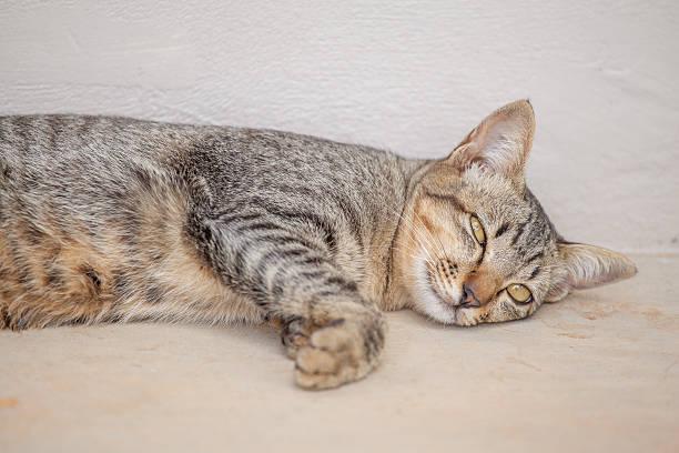 Beautiful thai cat picture id502176014?b=1&k=6&m=502176014&s=612x612&w=0&h=myeefwmabwg7tt6x2k4qgwi71mtbcf1g5cb335rhd5u=