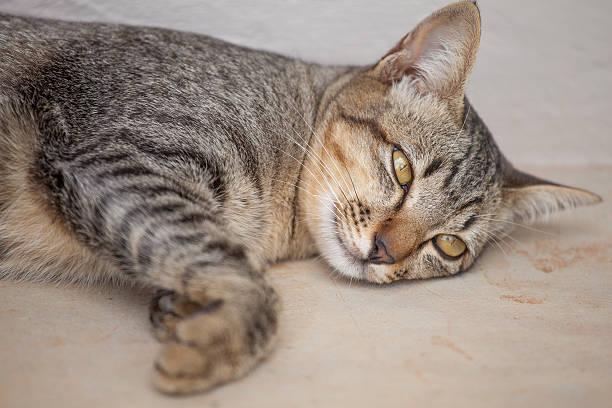 Beautiful thai cat picture id502176336?b=1&k=6&m=502176336&s=612x612&w=0&h=bssbehjeuqm2nhmesa8cvlzpmek61ukfa q9hvxw35e=