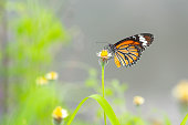 Beautiful The Common Tiger butterfly