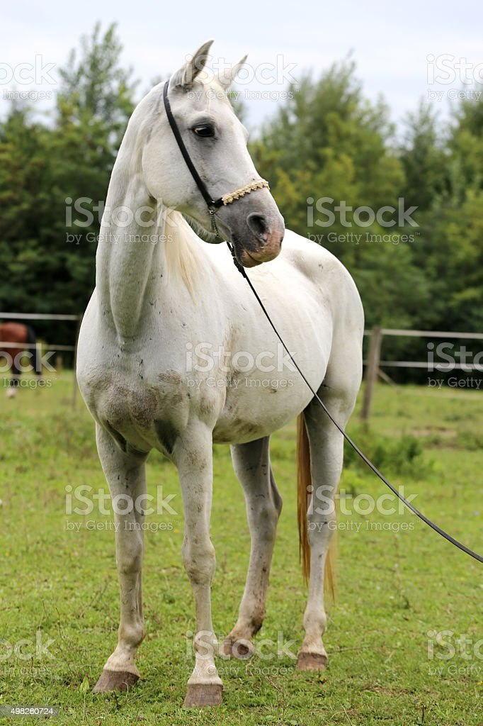 Beautiful thoroughbred horse standing at farm against natural ba stock photo