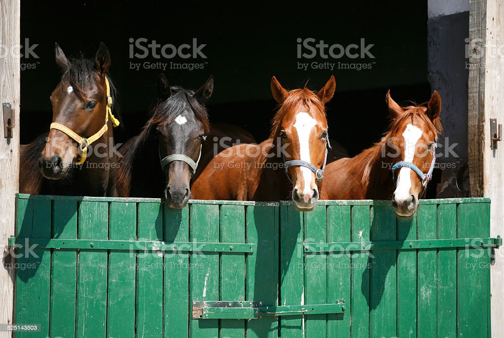 Beautiful thoroughbred horses at the barn door stock photo