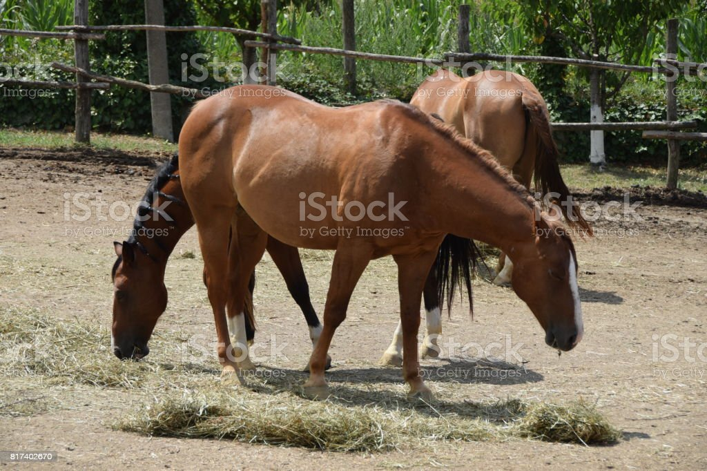 Beautiful Thoroughbred Horses On The Ranch Stock Photo Download Image Now Istock