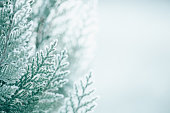 istock Beautiful thuja covered with frost in the contour of the dawn light, shallow depth of field soft light. Background for new year and Christmas holidays 1285677991