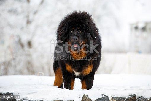 Big dog - Tibet Mastiff posing against a beautiful winter landscape.