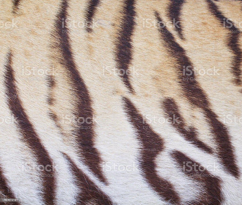 beautiful tiger fur  colorful texture stock photo