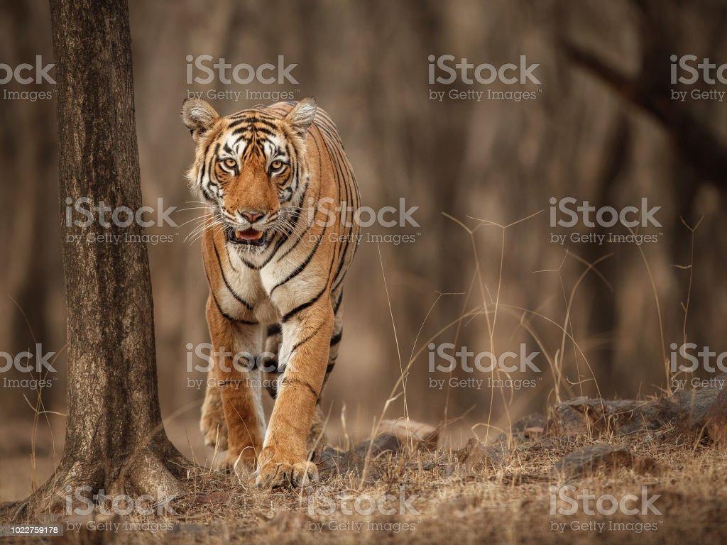 Beautiful tiger in the nature habitat stock photo