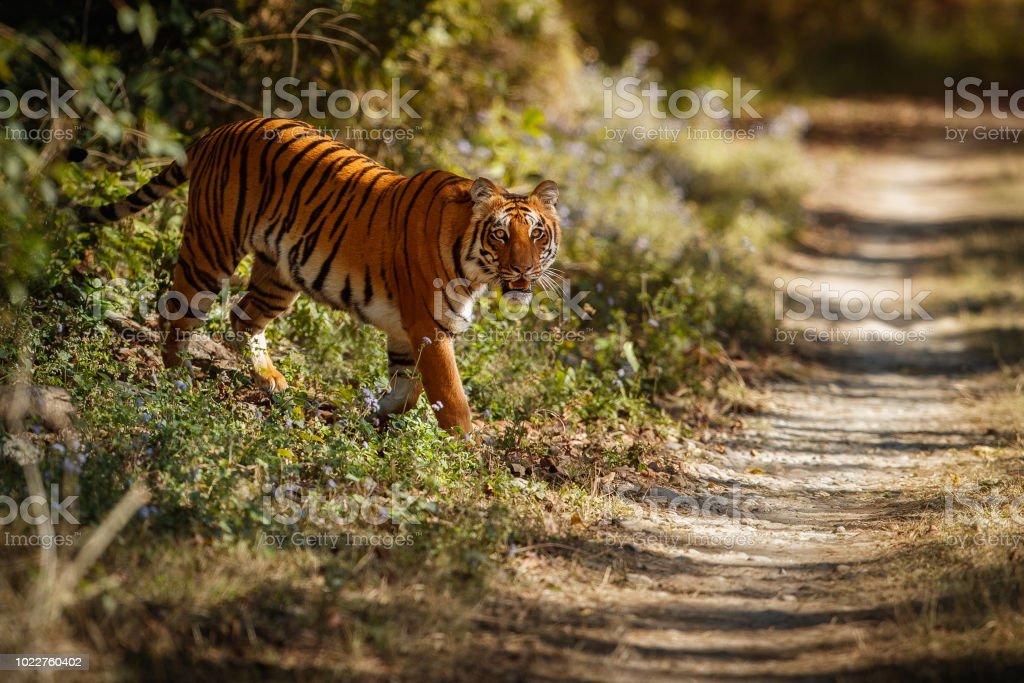 Schöne Tiger Im Lebensraum Natur Stockfoto Und Mehr Bilder Von