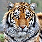 istock A beautiful tiger 1200501984