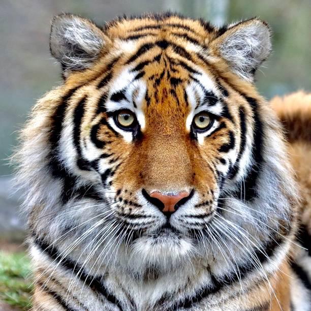 una bella tigre - fauna selvatica foto e immagini stock