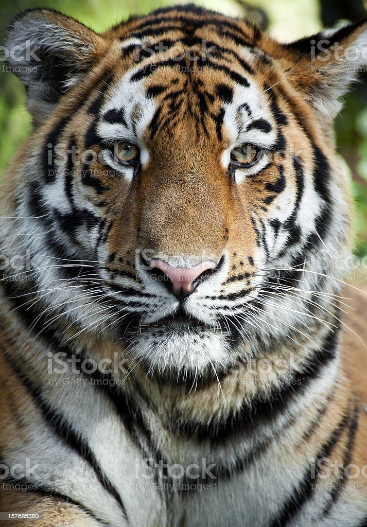 Beautiful Tiger stock photo