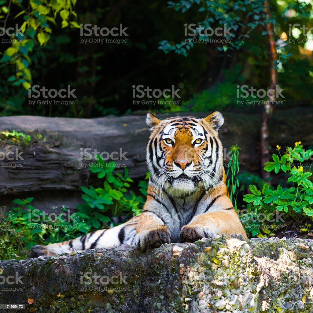 Beautiful tiger. stock photo