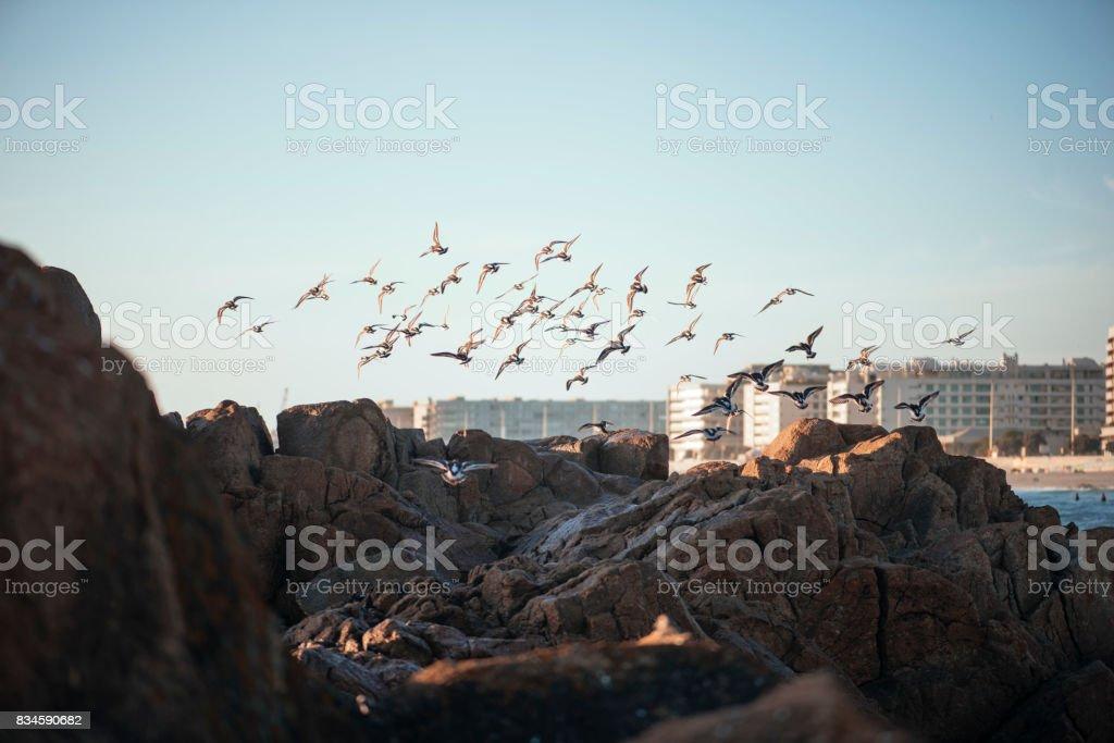 Beautiful tine Ruddy turnstone birds at the Matosinhos beach, Porto, Portugal stock photo