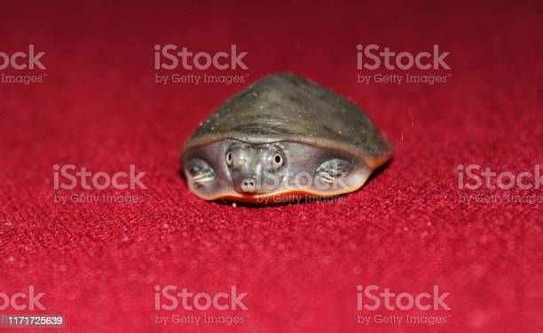 Beautiful tiny little turtle face  in red carpet