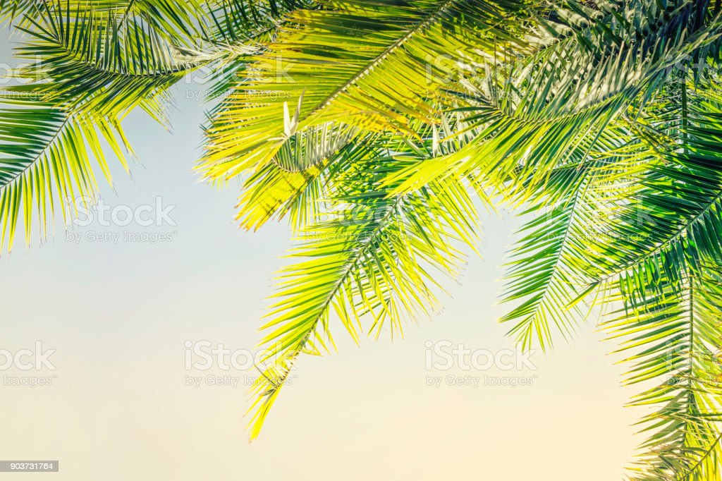 Beautiful Toned sunlight Palm leaves background with copy space stock photo