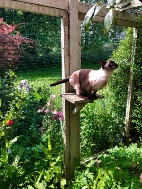 Beautiful tonkinese cats enjoying the sun picture id1166501577?b=1&k=6&m=1166501577&s=612x612&w=0&h=sqrhned csoz1eza8ovrm5otad3pcoe yzakva aym8=
