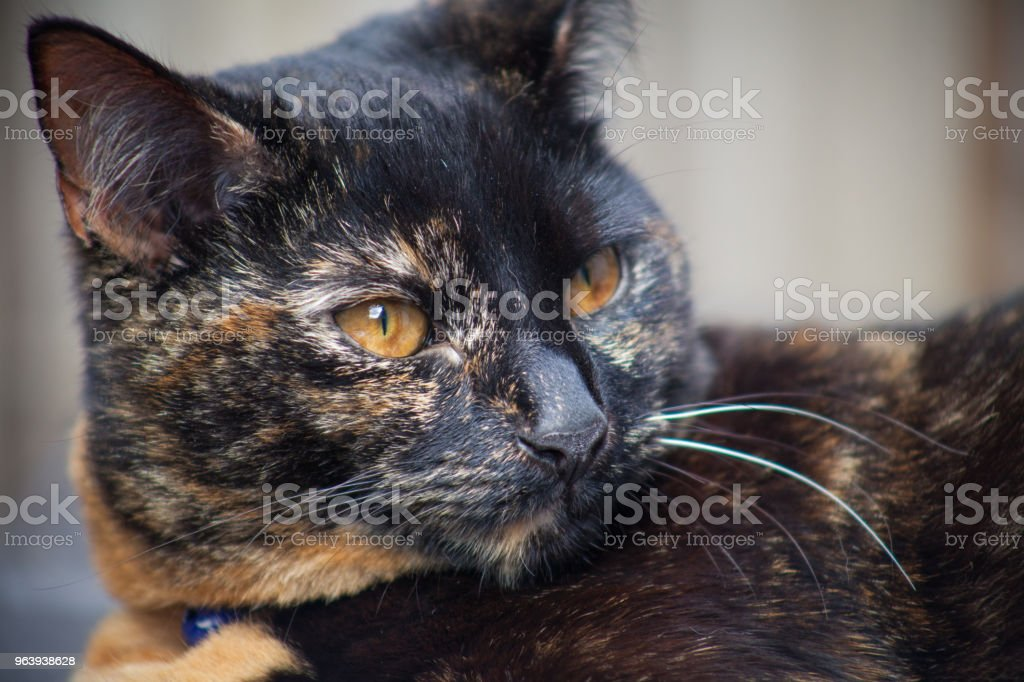 Beautiful Tortie - Royalty-free Alertness Stock Photo
