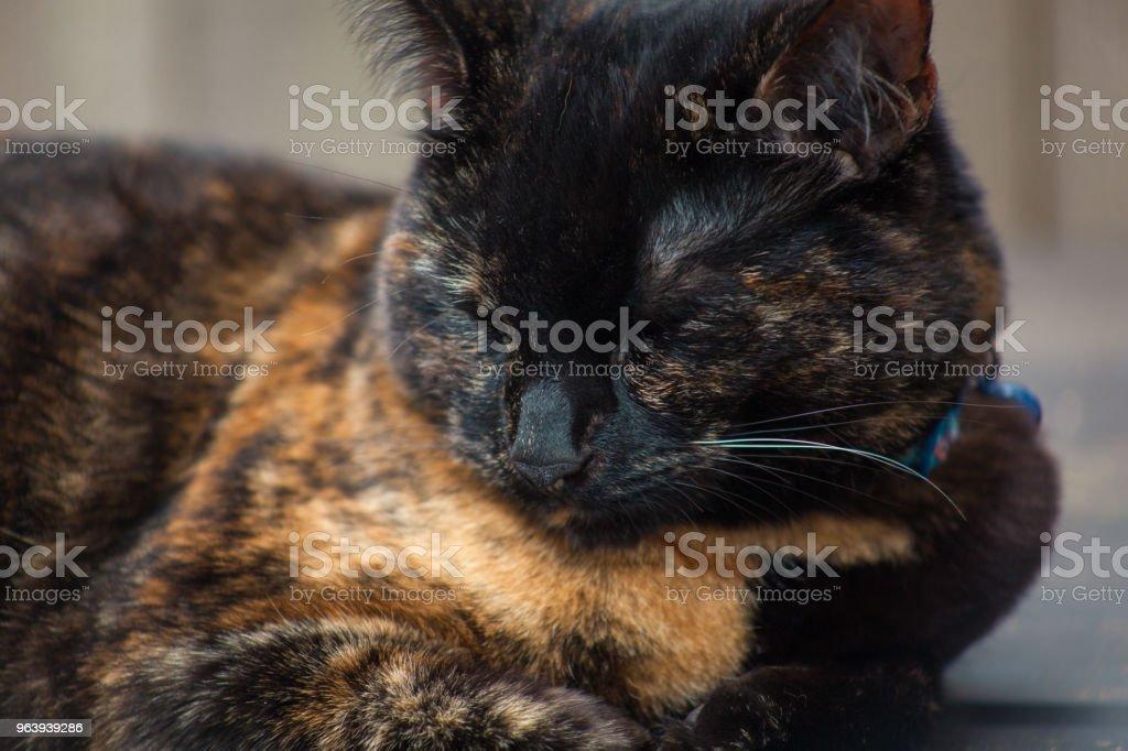 美しい三毛ネコ - くつろぐのロイヤリティフリーストックフォト