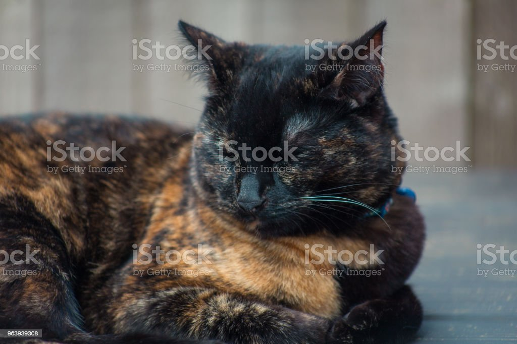 Beautiful Tortie - Royalty-free Animal Stock Photo