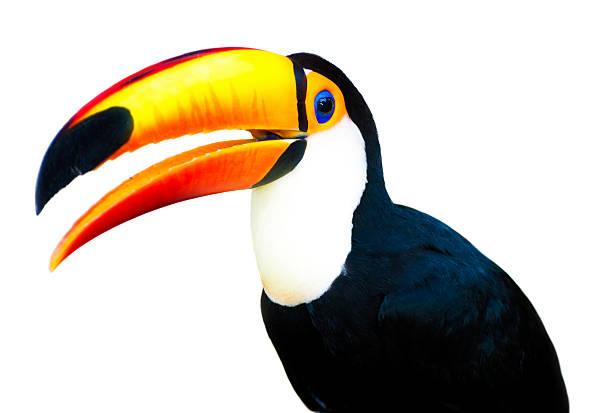 Beautiful Toucan stock photo