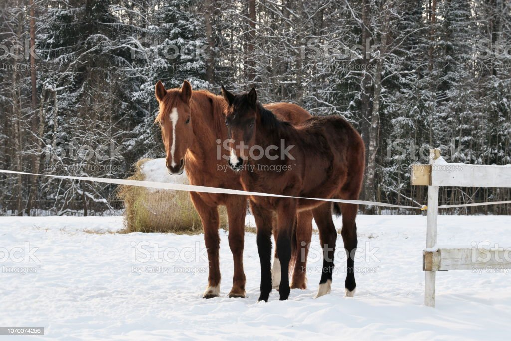 Beautiful Tranquil Rural Scene With Two Horses Wearing Winter Coats Colored In Light Brown And Dark Brown Standing Together In Snow Covered Paddock With Snowed Forest As Background Stock Photo Download