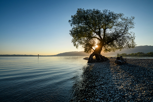Majestic tree in the morning at the shore of Lake of Constance in Austria