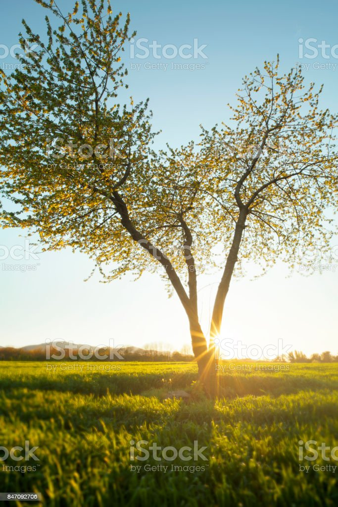 Beautiful tree in a field during a sunset stock photo