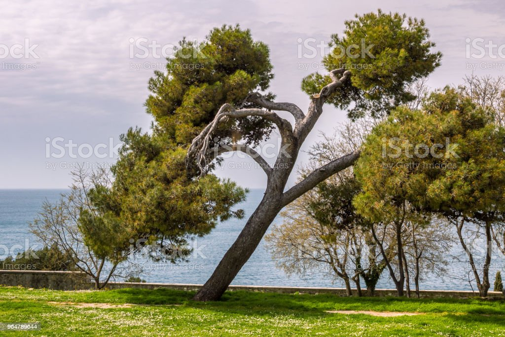 Beautiful tree in a garden in Rovinj. royalty-free stock photo