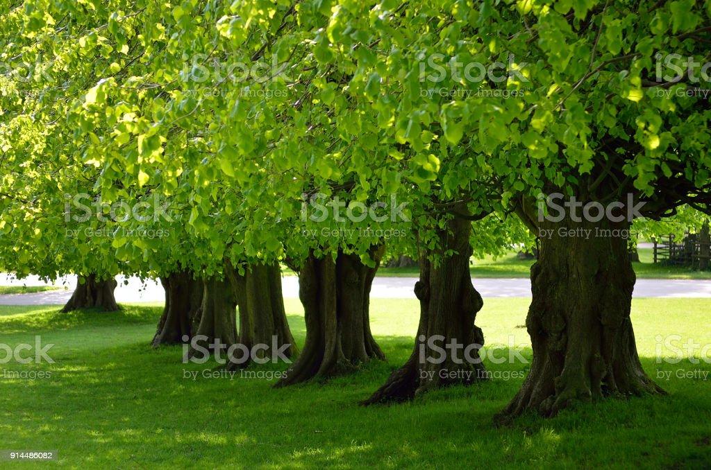 Beautiful tree lined avenue at Lyme Park, Disley, Stockport, UK stock photo