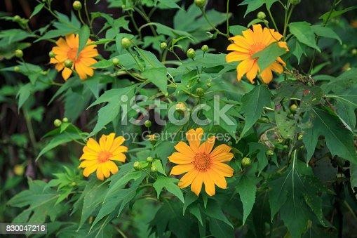 Beautiful Tree marigold flower on green background