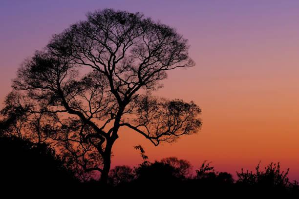 Beautiful trees as part of Pantanal wetland landscape at sunset, Porto Jofre, Pantanal, Mato Grosso do Sul, Brazil stock photo