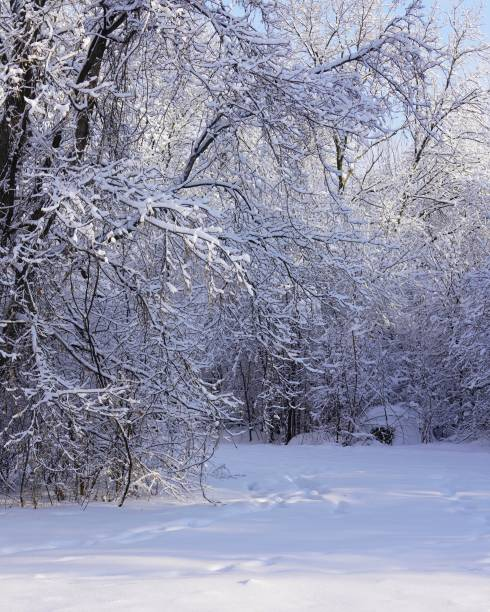 Beautiful trees with hoarfrost after snowfall in winter stock photo