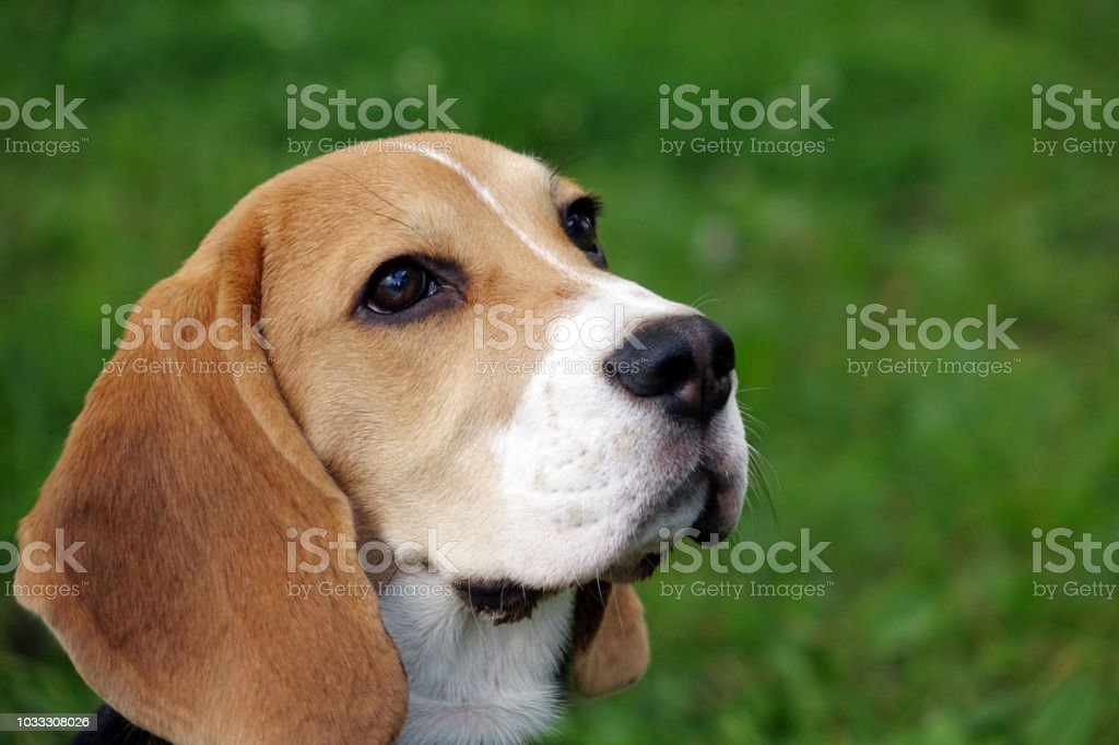 Beautiful Tricolor Beagle Puppy English Sitting On The Green Grass Beagle Is A Breed Of Small Hounds Stock Photo Download Image Now Istock