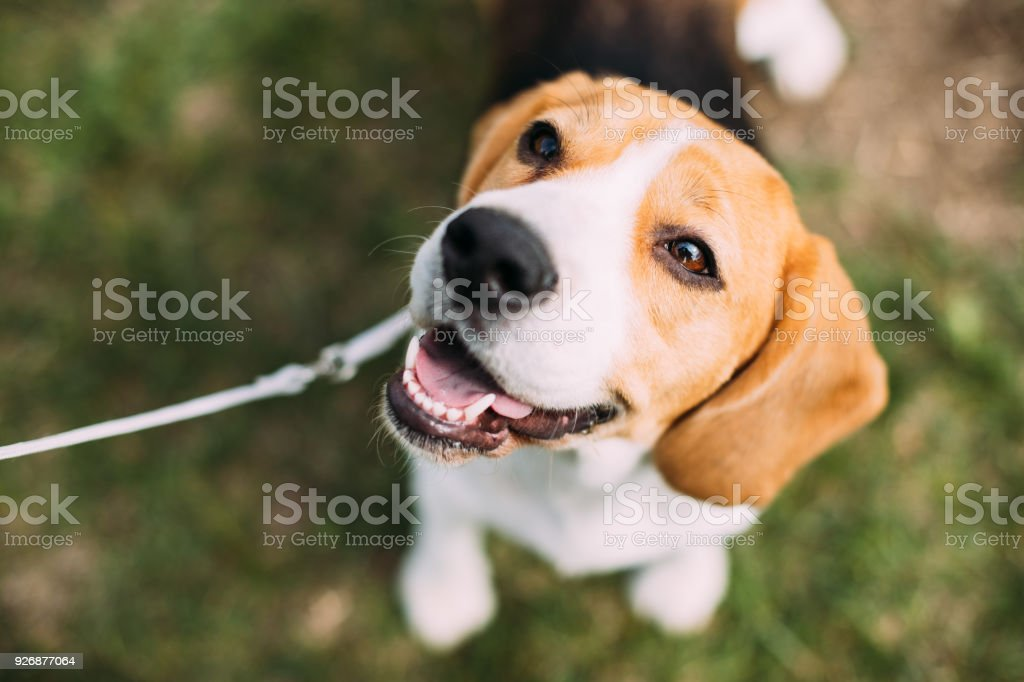 Beautiful Tricolor Puppy Of English Beagle Sitting On Green Grass. Smiling Dog stock photo