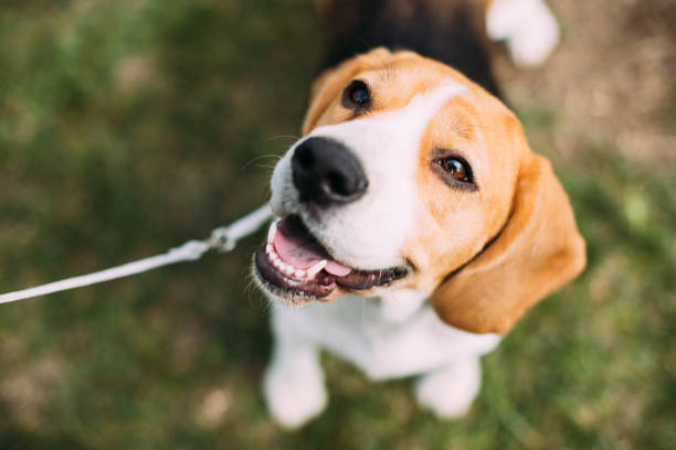 beautiful tricolor puppy of english beagle sitting on green grass. smiling dog - happy dog imagens e fotografias de stock