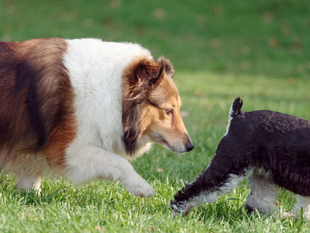Beautiful tricolor Shetland sheepdog running and sniffing the Schnauzer's ass, typical dog behavior to get to know each other. stock photo