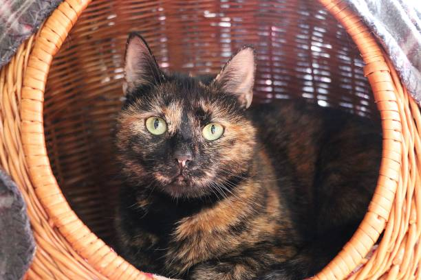 beautiful tricolored cat is lying in the willow basket colorful shildpat cat is lying in the willow basket tortoiseshell cat stock pictures, royalty-free photos & images