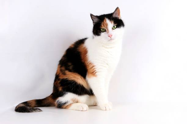 beautiful tricolored cat portrait beautiful tricolored cat is sitting in the studio tortoiseshell cat stock pictures, royalty-free photos & images