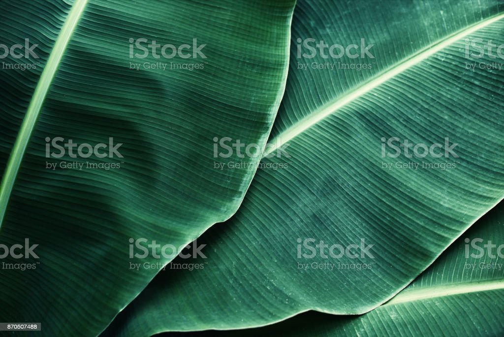 Beautiful tropical banana leaf texture background stock photo