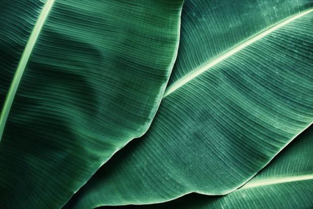 Beautiful tropical banana leaf texture background stock photo