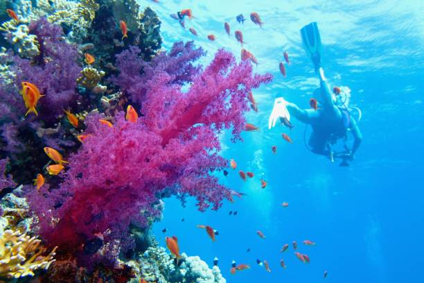 Beautiful tropical coral reef with purple soft coral. Scuba diver on the background. stock photo
