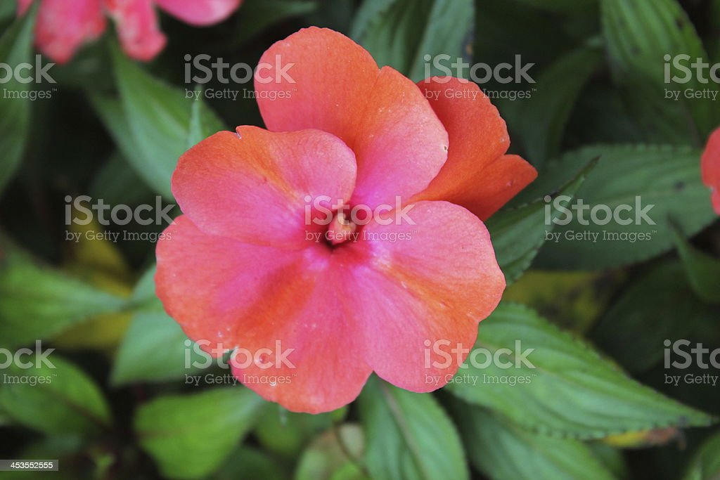 Beautiful Tropical Flower royalty-free stock photo