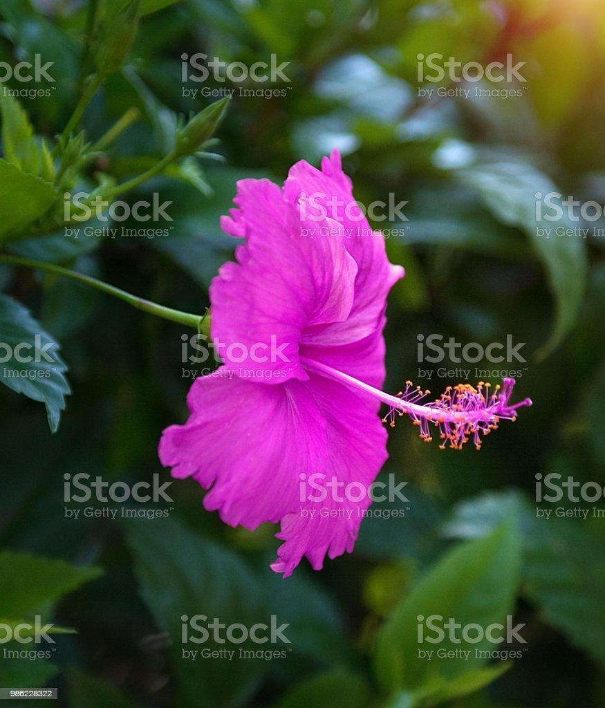 Beautiful tropical flowers the bush strizhennom ratut many bright beautiful tropical flowers the bush strizhennom ratut many bright juicy colors in hot climates izmirmasajfo